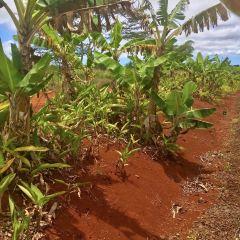 都樂鳳梨種植園用戶圖片