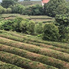 Yannanfei Tea Fields User Photo