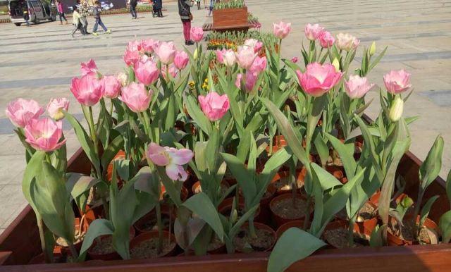 Chencun Flower World