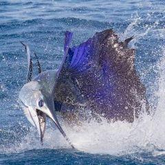 Hawaii Marlin Fishing 여행 사진
