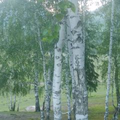 禾木白樺林用戶圖片
