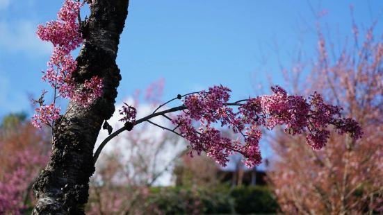 无量山的樱花谷应该是祖国大地最早迎来春天的地方!这里本来是一