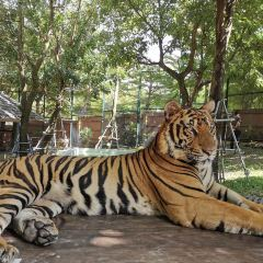 Tiger Kingdom Phuket User Photo