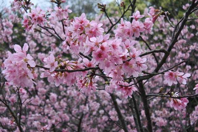 【偽出國】2021是時候旅行了!台北三花季推薦打卡賞花熱點