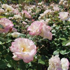 Rose Garden Walk User Photo