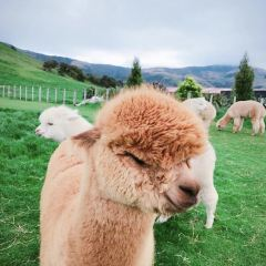Shamarra Alpacas User Photo