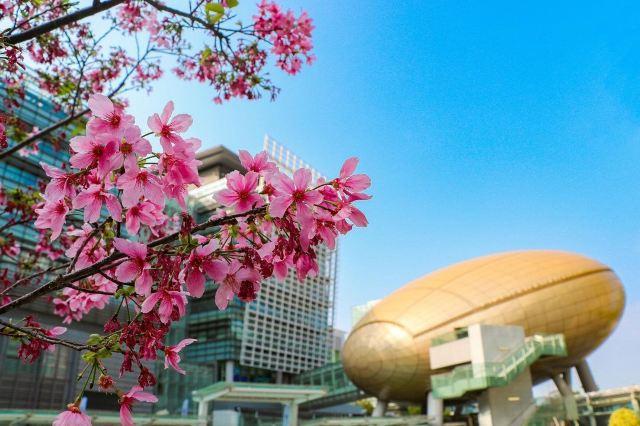 【香港櫻花2021】市區/近郊/離島 8個賞櫻地點,2021花期預測