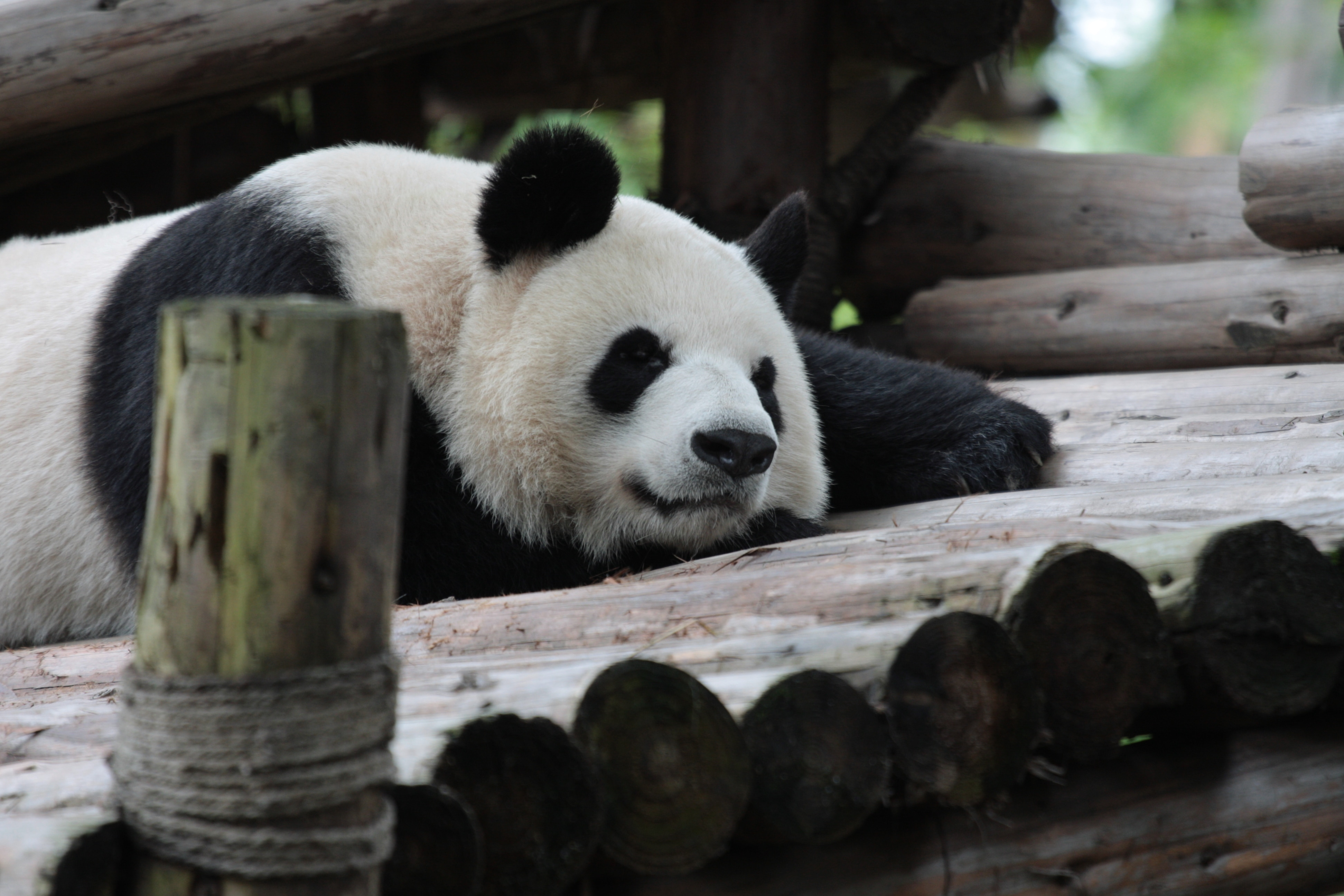 See Pandas and Stroll Along the Wide and Narrow Alley in Chengdu