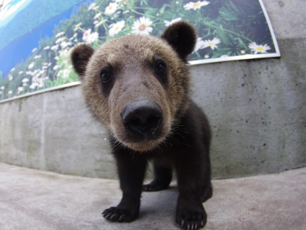 昭和新山熊牧場入場券 たくさんのヒグマに会いに行こう<洞爺湖から車で10分/壮瞥町>