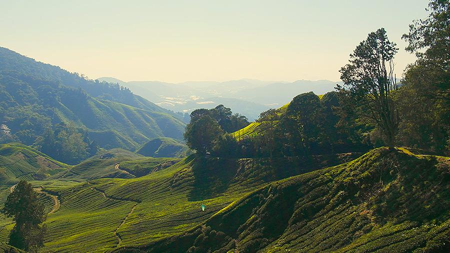 馬來西亞金馬侖高原+BOH 茶園+金馬倫高原薰衣草園+草莓農場中文包車一日遊