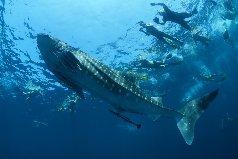 【セブ島二大観光】ジンベエザメと泳ぐシュノーケリング +秘境カワサン滝