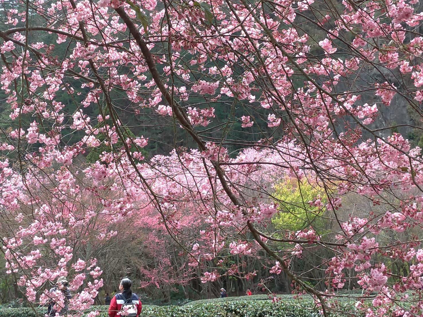 武陵農場戀戀櫻花浪漫相約一日遊
