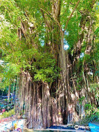 Old Enchanted Balete Tree