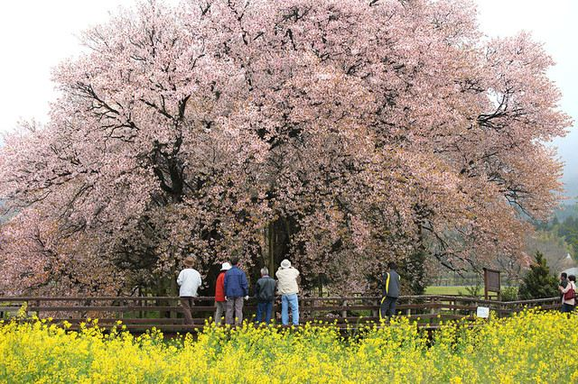 The 6 Must See Cherry Blossom Spots Of Kyushu S Cherry Blossom Season Travel Notes And Guides Trip Com Travel Guides