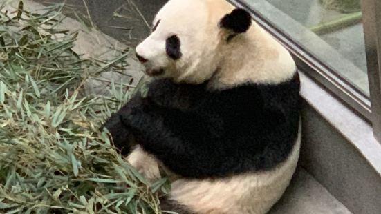 挺憨态可掬的两只国宝大熊猫,一会儿会吃点,一会儿回爬来爬去,