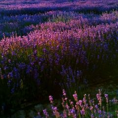 紫蘇麗人薰衣草創意產業園用戶圖片