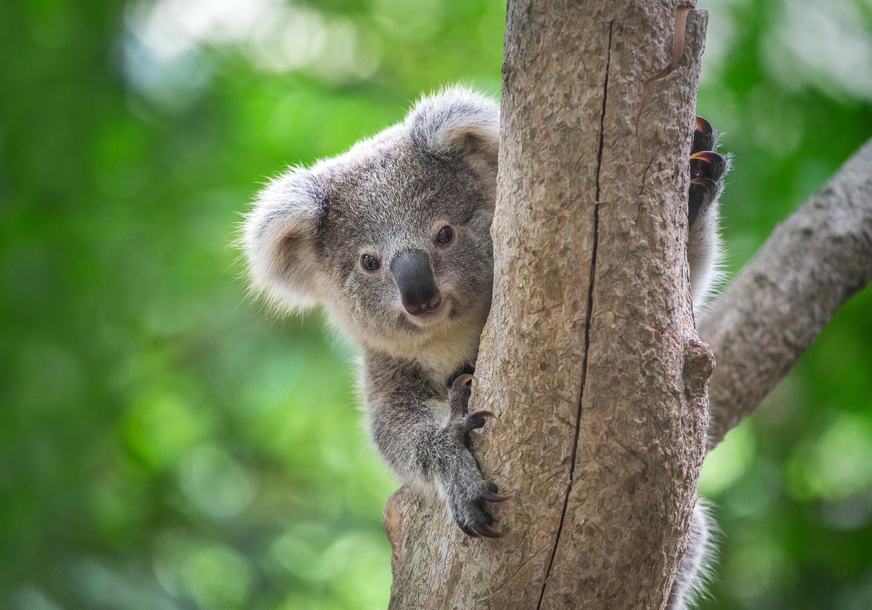 Kuranda Koala Gardens Ticket