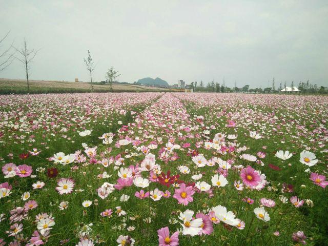 Shenxian (Spirit Fairy) Lake Sea of Flowers