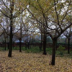 Guiyang Tea field Ginkgo Forest User Photo