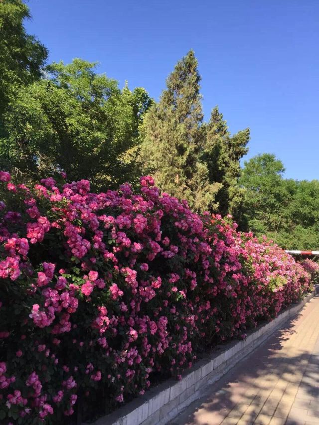 雪山玫瑰莊園