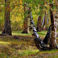 白哈巴森林公園用戶圖片