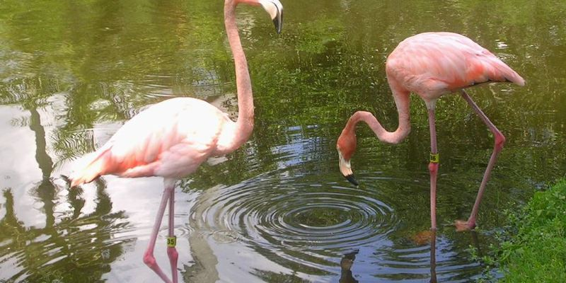 Hand-feeding Flamingo: A Guide to Sarasota Jungle Gardens