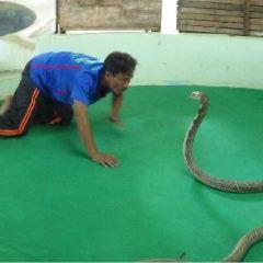 Phuket Cobra Show and Snake Farm User Photo