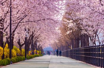 Spectacular Cherry Blossoms