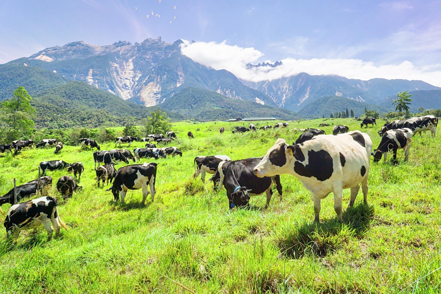 Desa奶牛農場