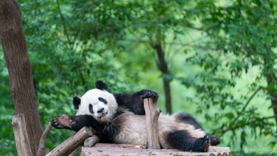 Chengdu All Inclusive Private Day Tour to Giant Panda Base and Leshan Giant Buddha Trip by High-Speed Train