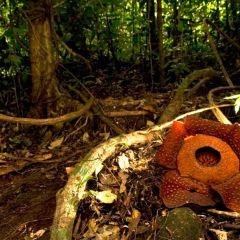 Adenna Rafflesia Garden用戶圖片