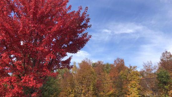 枫树林给大地铺上了红色的地毯,远望那一大片枫林宛若一大团燃烧