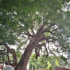 Thousand-year Old Camphor Tree User Photo