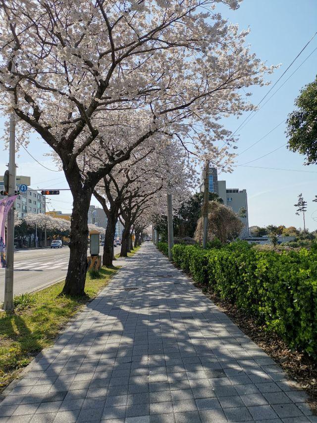 벚꽃 거리