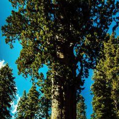 General Sherman tree User Photo