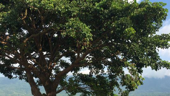台中金城武樹