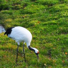 Kushiro City Red-crowned Crane Natural Park User Photo