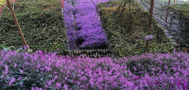 金馬倫高原薰衣草園