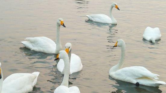 烟墩角天鹅--来自西伯利亚的白天鹅成千上万左右,给美丽的宁静