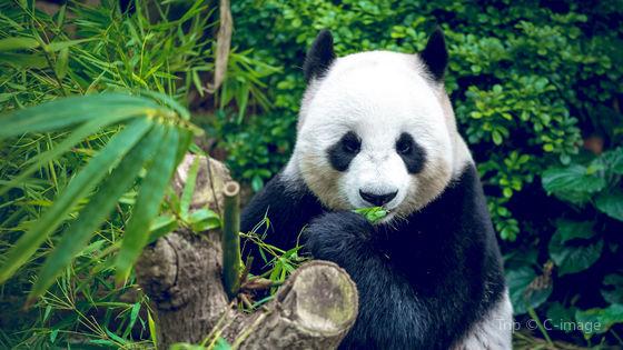 1-Day Panda Breeding Center and Chengdu City Tour