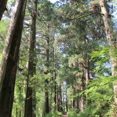 箱根舊街道杉並木用戶圖片