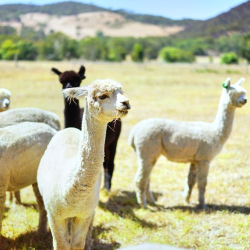 索芙特羊駝牧場