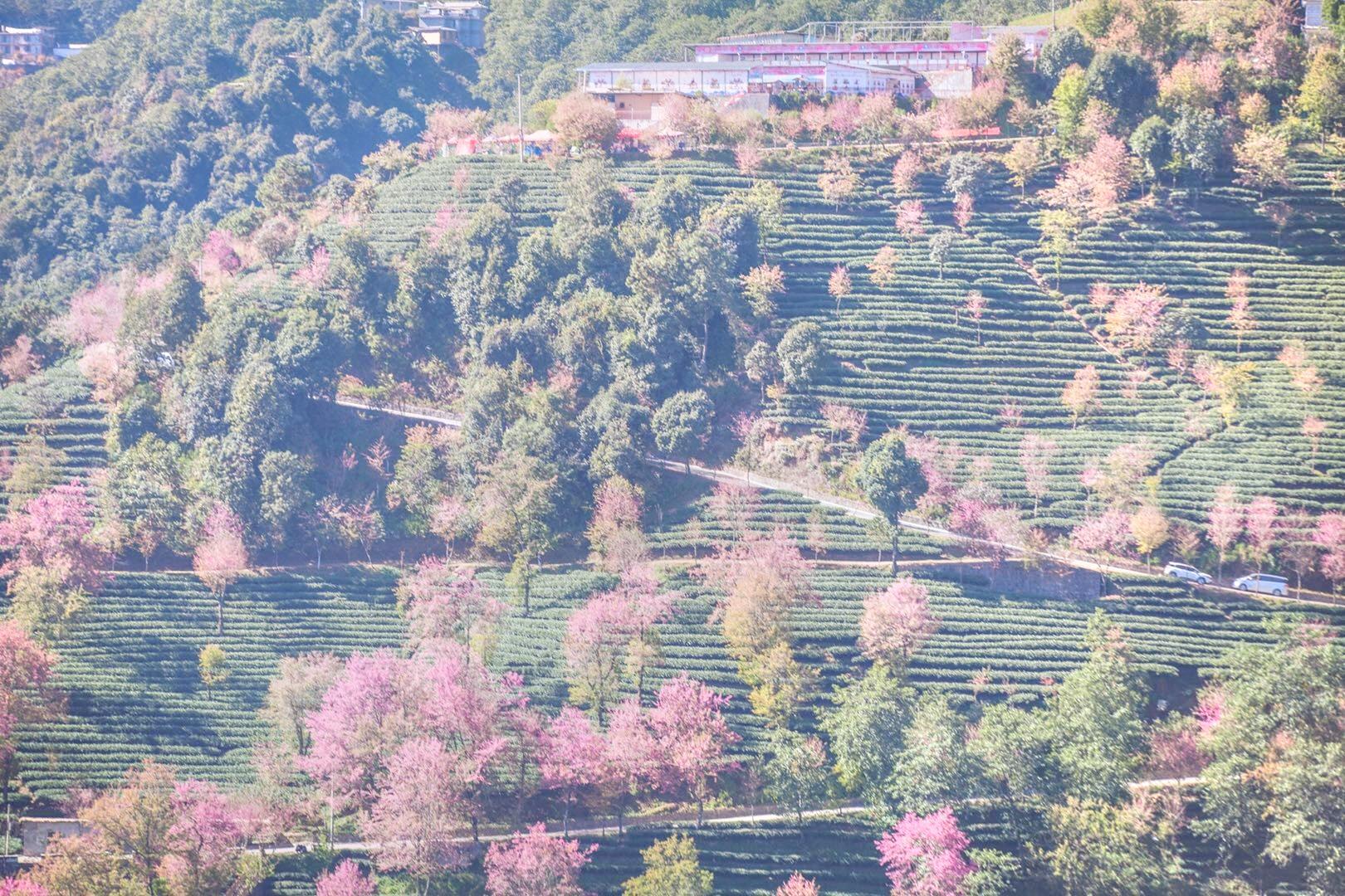 無量山櫻花谷