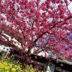 河津桜通りのユーザー投稿写真