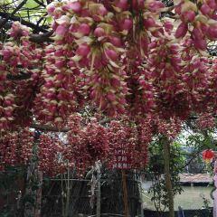 Huangjinbu Colorful Mucuna Birdwoodiana Flower Base User Photo