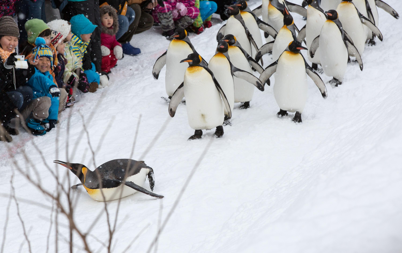 【GoTo35%OFF】札幌市内発着/動物園滞在たっぷり3時間30分!北海道の冬をたくましく生きる動物たちを見に行こう!旭山動物園1DAYピクニック号*入園券付き*