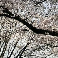서귀포 벚꽃의길 여행 사진