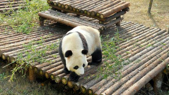 熊猫馆是南山竹海景区新开设的一个景点。在这里可以近距离观赏大