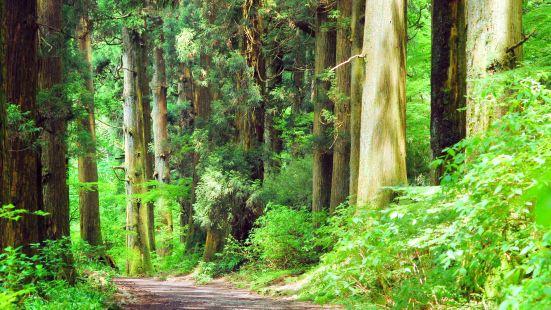 杉樹林蔭道