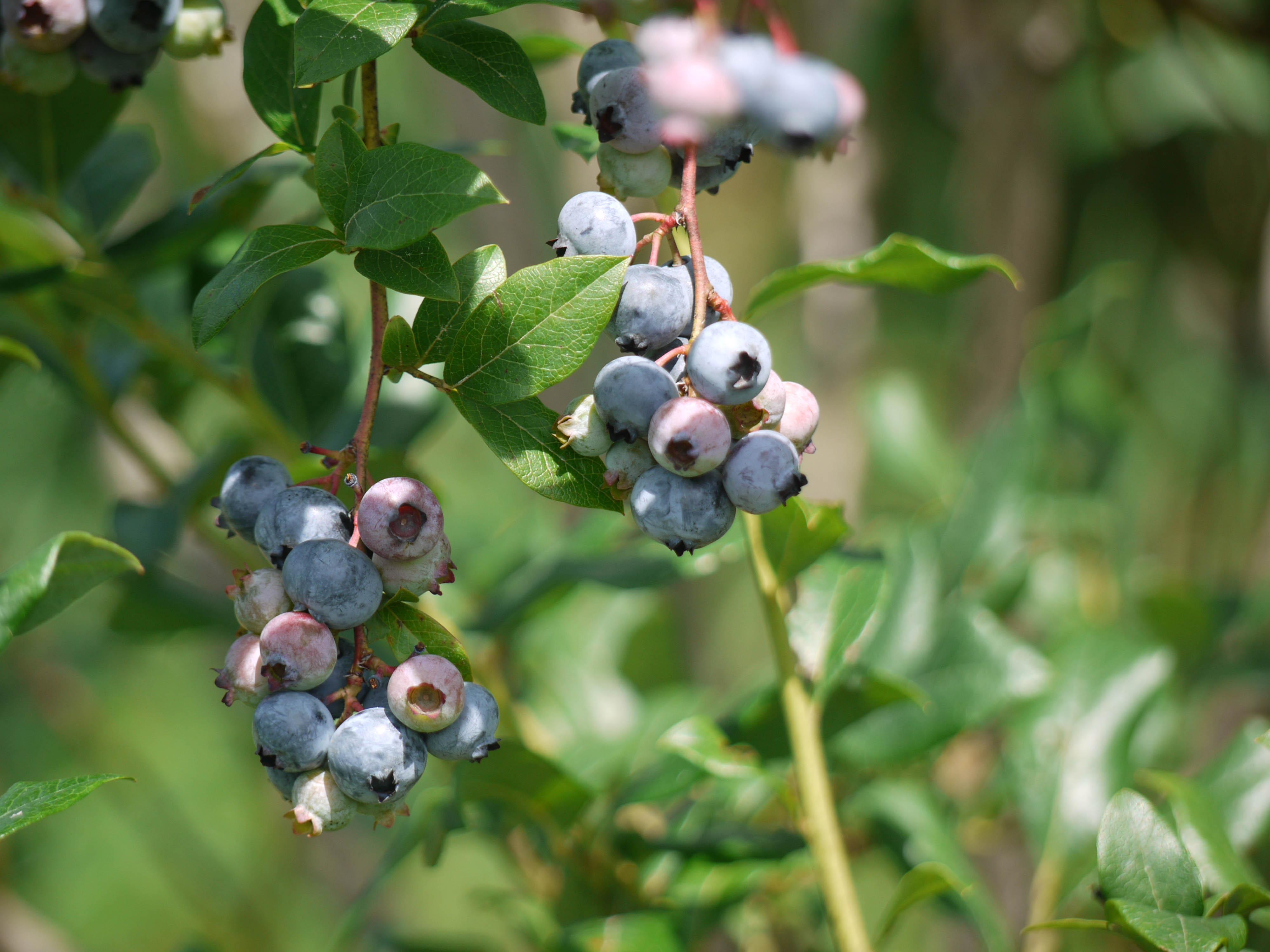 Paupack Blueberry Farm